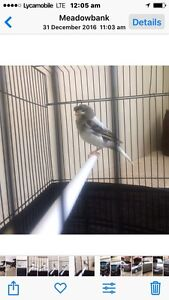 glaster canary for sale is cam with cage and all staff Meadowbank Ryde Area Preview