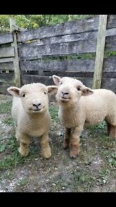 "Miniature ""Baby Doll"" Sheep"