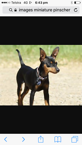 Lost Dog Black and Tan Miniature Pinscher North Beach Stirling Area Preview