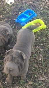 Gorgeous Blue Shar-Pei For sale ~purebred