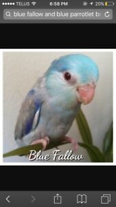 Blue fallow and blue parrotlets