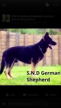 German shepherd working lines pups. Campbelltown Campbelltown Area Preview