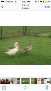 Geese for sale Dungog Dungog Area Preview