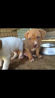 Red nose pup for sale Moree Moree Plains Preview