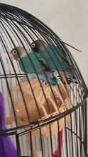 Lovebird looking for a good home Secret Harbour Rockingham Area Preview