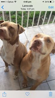 American staffy pups Lansvale Liverpool Area Preview