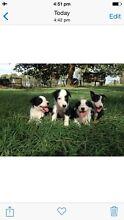 Border collie puppies Hughenden Central West Area Preview