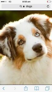 Dog sitter available Montrose Glenorchy Area Preview
