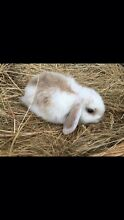 Mini lop rabbits Whittlesea Whittlesea Area Preview