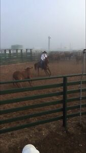 Registered QH Gelding Dalby Dalby Area Preview