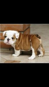 Looking for a bulldog pup similar to the pictures Macquarie Fields Campbelltown Area Preview