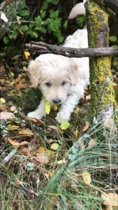 One boy goldendoodle puppy left