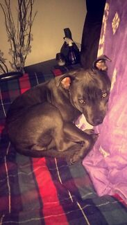 MISSING - Blue Staffy - 1 year old - female - Willow Mill Park Whittlesea Area Preview
