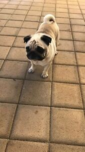 Fawn Pug ( Female) Alexander Heights Wanneroo Area Preview