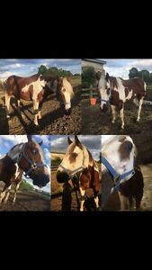 Several horses/ponies available for adoption