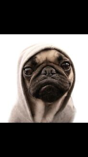 PUG WANTED!! Newstead Launceston Area Preview