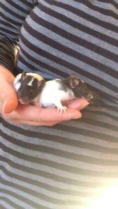Pet Baby rats for sale Burra Queanbeyan Area Preview
