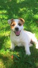 Jack Russell x Westie Pups for sale Bohle Townsville City Preview