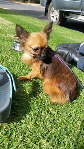 Female Pure Breed Chihuahua. Echunga Mount Barker Area Preview