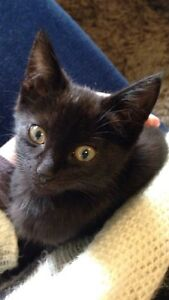 Missing black cat East Maitland Maitland Area Preview