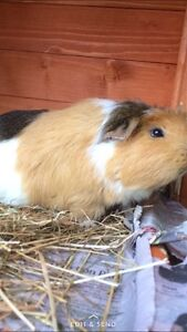 Guinea pig North Sydney North Sydney Area Preview