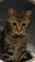 1 YEAR OLD MALE TABBY FREE TO GOOD HOME Coen Cook Area Preview