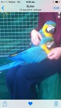 Blue and gold macaws Butler Wanneroo Area Preview