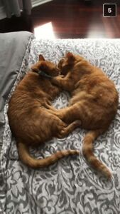 2 beautiful orange cats for new home