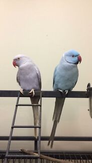 WANTED: Indian Ringneck