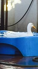 Free male purebred Indian runner duck to a good home Palm Beach Gold Coast South Preview