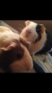 Two female guinea pigs free to good home