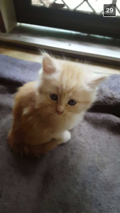 Ginger kitten Modbury Heights Tea Tree Gully Area Preview