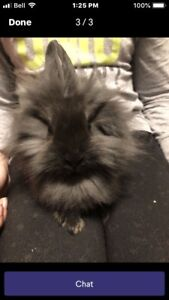 "FREE :  3 MONTH OLD RABBIT ""SHYLA"""