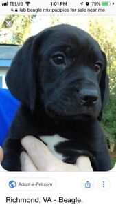 * LOOKING FOR  * a lab/beagle puppy