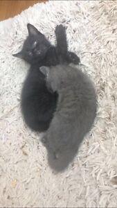 1 chaton noir à donner 1 black kitten for free