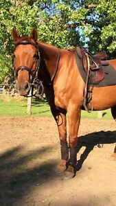 Free lease on all-around show horse