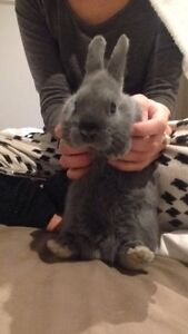 Adorable pure bred Netherland Dwarf Pet Rabbit Mentone Kingston Area Preview