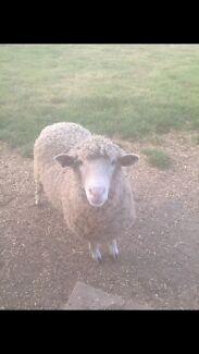 2 sheep $50 the pair Devonport