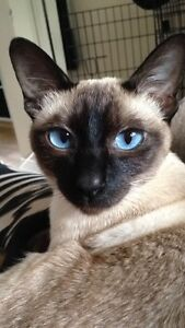 2yr old female Siamese looking for a forever home