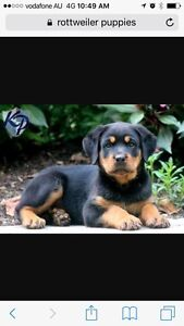 Rottweiler pup or German shepherd pure breed Maddington Gosnells Area Preview