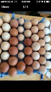 Fertilized purebred Hatching Eggs For Sale