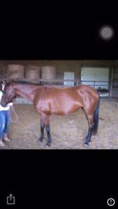 REG. TB mare for sale or trade!