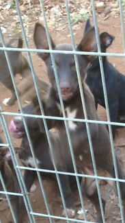 Free Kelpie X pups
