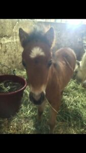 Miniature Filly- Cinnamon