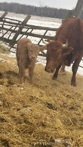 Simmental cow with char/simm steer calf