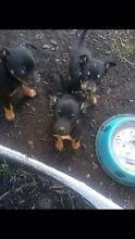 Kelpie puppies Camden Camden Area Preview