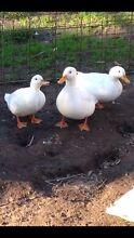 White ducks 5 for $50 Langwarrin Frankston Area Preview