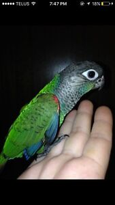 Pearly conure baby