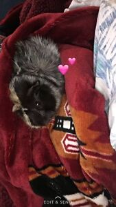 Guinea pigs to a good forever home