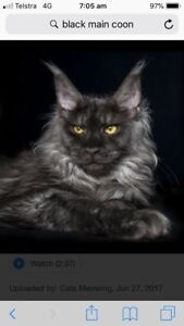 Wanted: Wanting Main Coon show quality